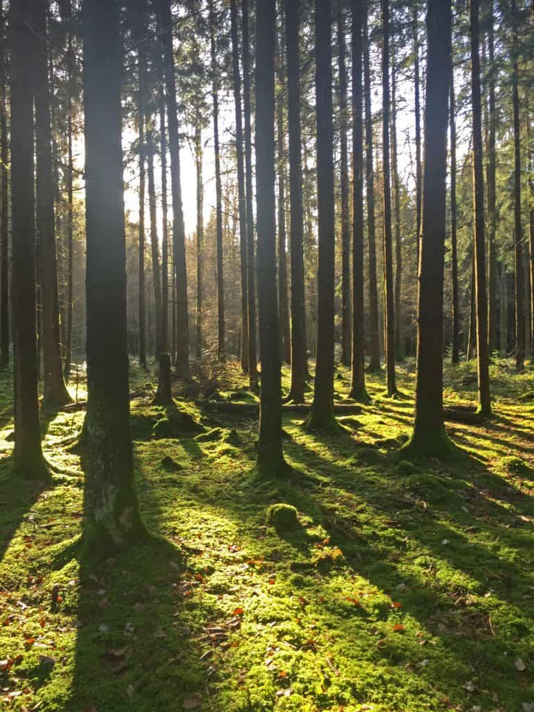 Bäume im Sonnenuntergang im Kölliker Wald