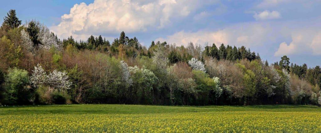 Wald mit Feld und Blumen im Vordergrund